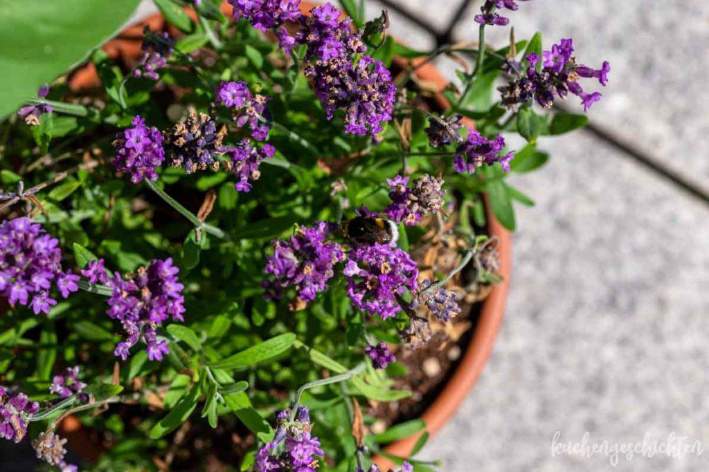 Balkongarten Lavendel | kuchengeschichten