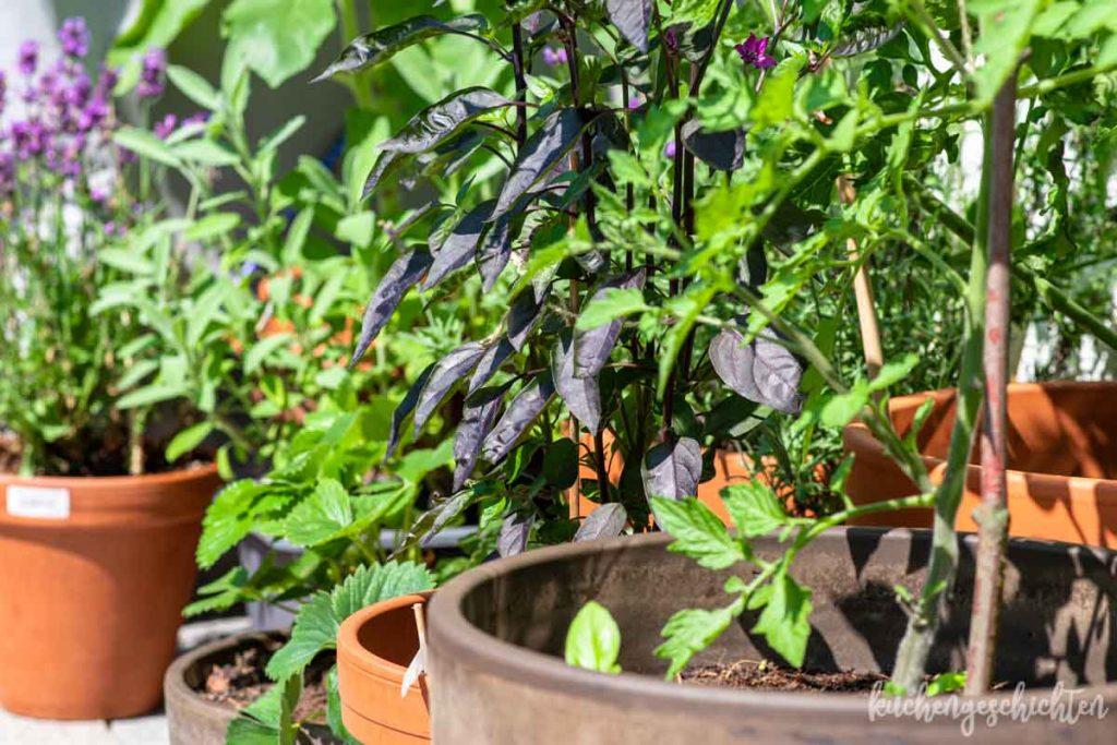 Balkongarten Chili Tomaten | kuchengeschichten